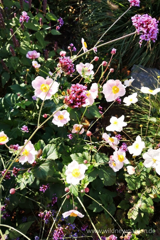 Anemone japonica und Verbena bonariensis