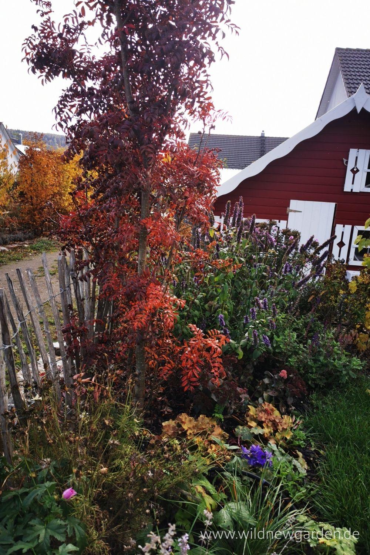 Sorbus Serotina im Herbst